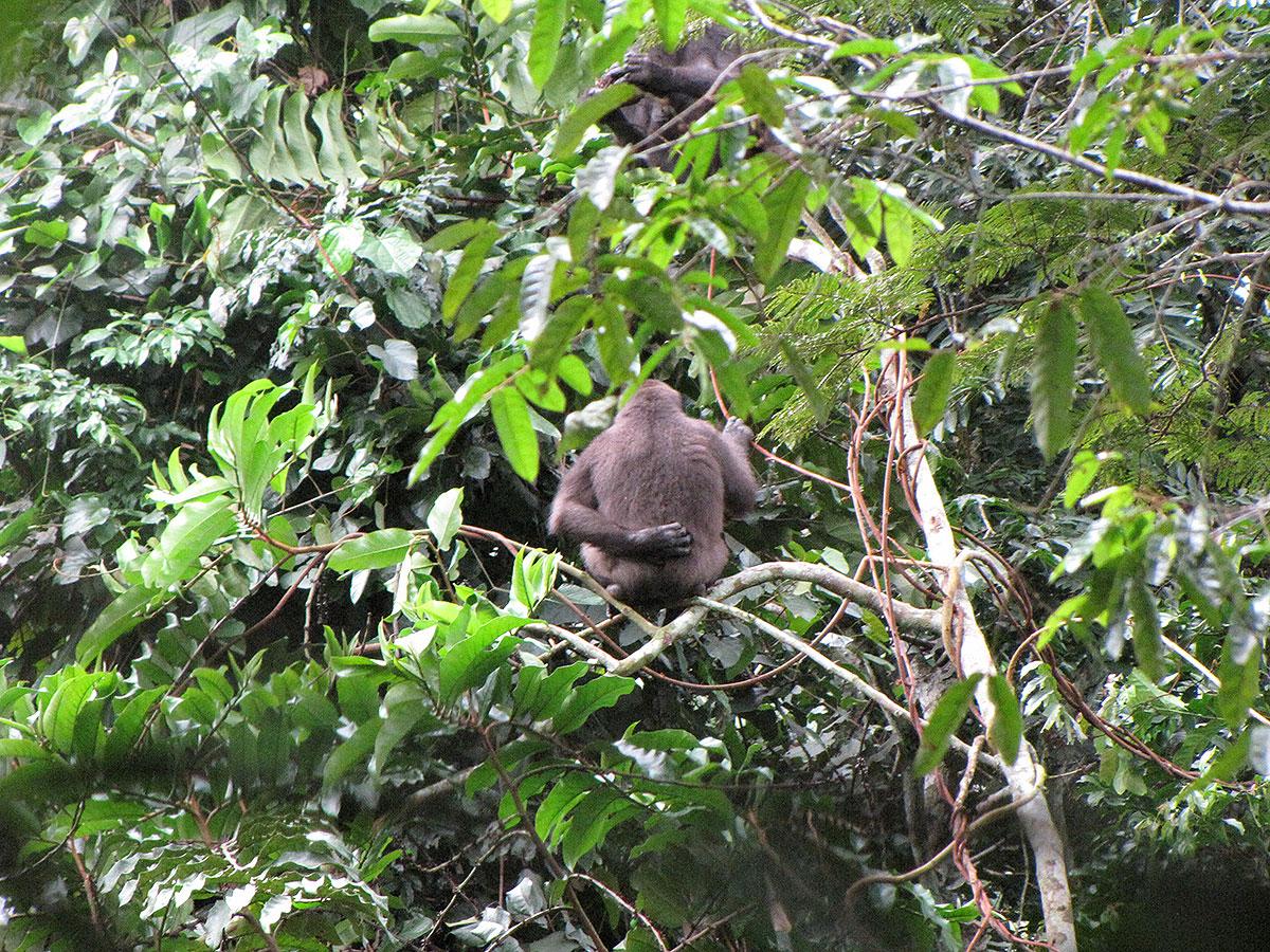 A rubbish photo of a gorilla