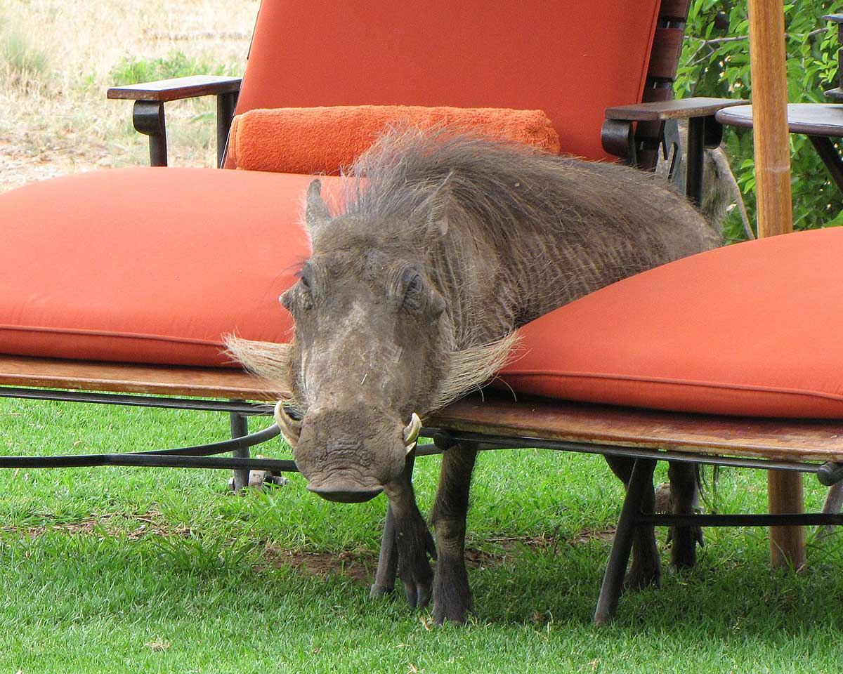 A warthog, seeking a meeting with the author in Africa